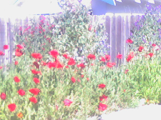 Poppies Along a Fence in Burlingame, CA
